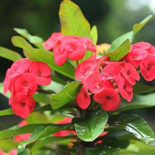 Euphorbia Succulent