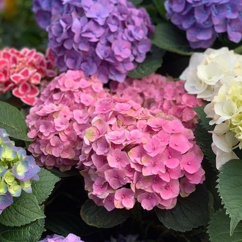 Florist Hydrangeas