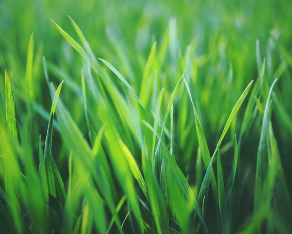 Forever Green Grass Seed Mix