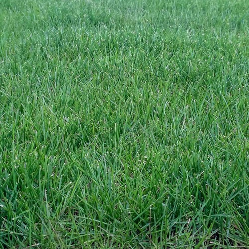 Karma Perennial Ryegrass Grass Seed