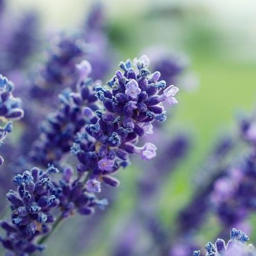 Lavender Herb Seeds