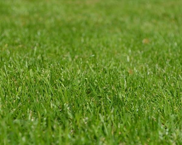 Low Grow Grass Seed
