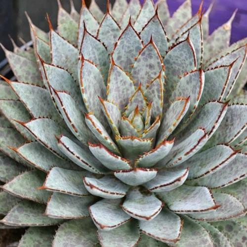 Mangave Succulent