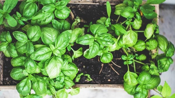 Choose the best herbs to grow indoors