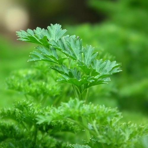 Parsley Herb Seeds