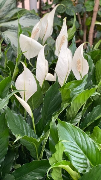 Peace lily blooms