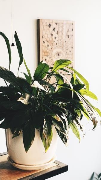 Peace lilies make great decor