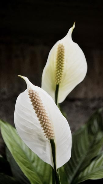 Peace lilies have the best blooms