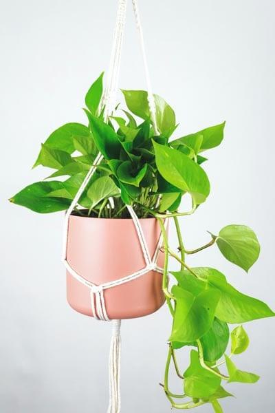 Neon Pothos houseplant