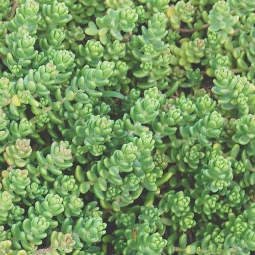 Stonecrop Succulents