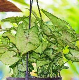 Cream Arrowhead Plant