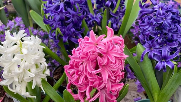Tulip and Hyacinths make great Valentine's Day gifts