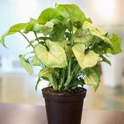 Berry Allusion Arrowhead Plant