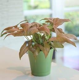 Strawberry Cream Arrowhead Plant
