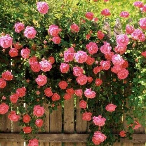 America Climbing Rose Bushes