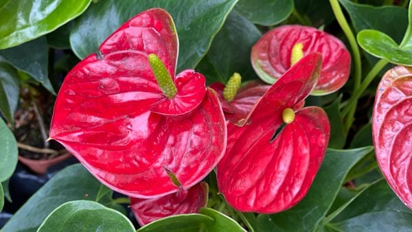 Anthuriums for Chinese New Year