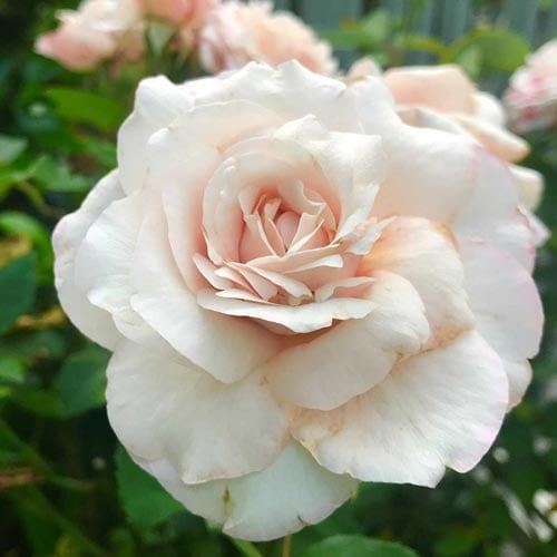 Belinda's Bush Rose Bush