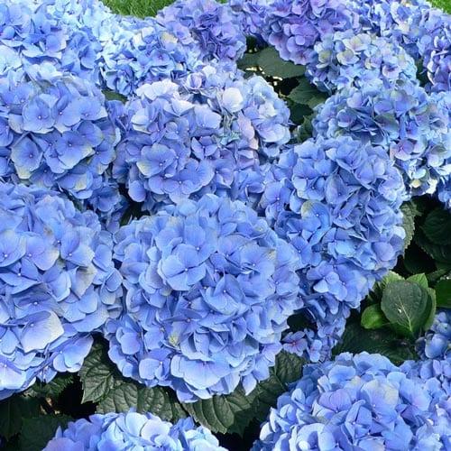Blue Enchantress Hydrangea Shrubs