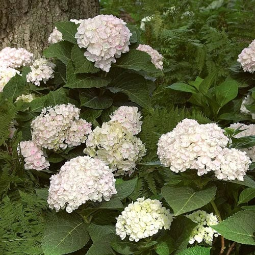 Blushing Bride Hydrangea Shrubs