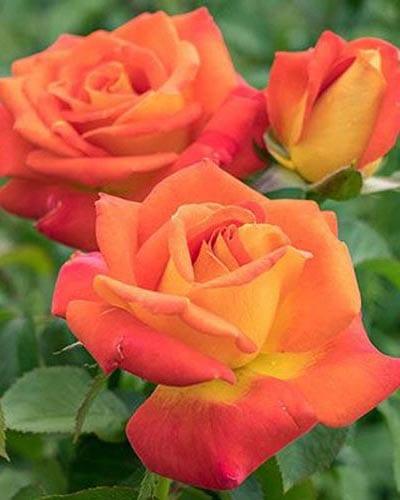 Floribunda Rose Bushes - Yearly Rose List