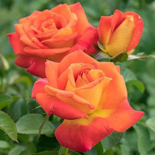 Burst of Joy Floribunda Roses