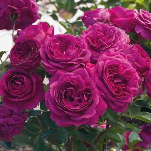 Celestial Night Floribunda Roses