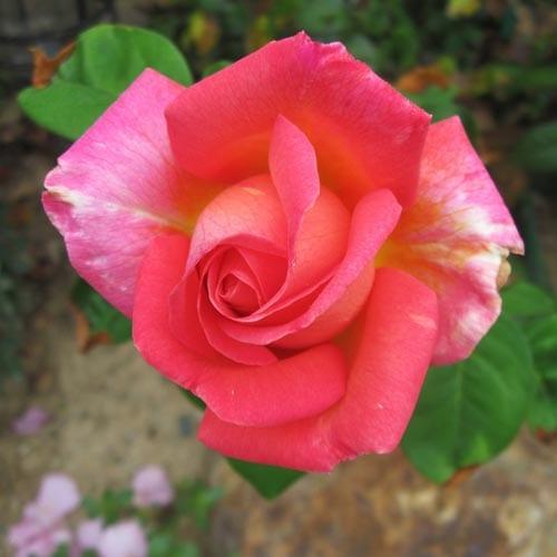 Chicago Peace Rose Bushes