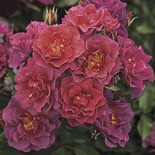 Cinco de Mayo Floribunda Roses