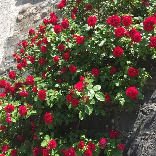 Climbing Rose Bushes