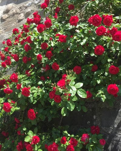 Climbing Rose Bushes - Yearly Rose List