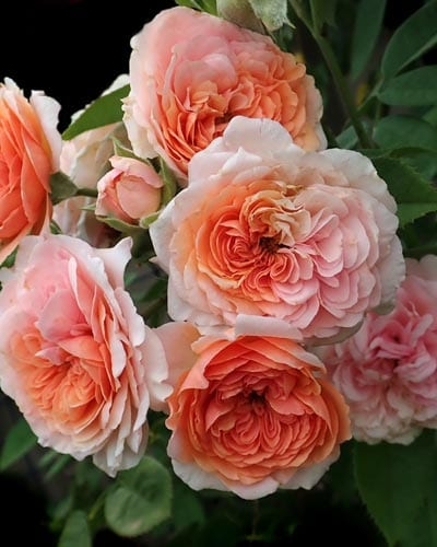David Austin Roses - Yearly Rose List