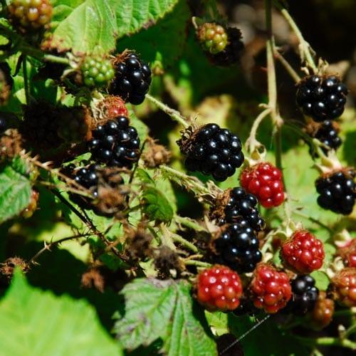 Fruit Shrubs