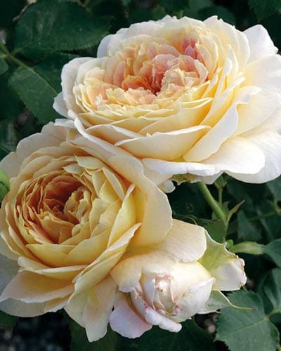 Grandiflora Rose Bushes - Yearly Rose List