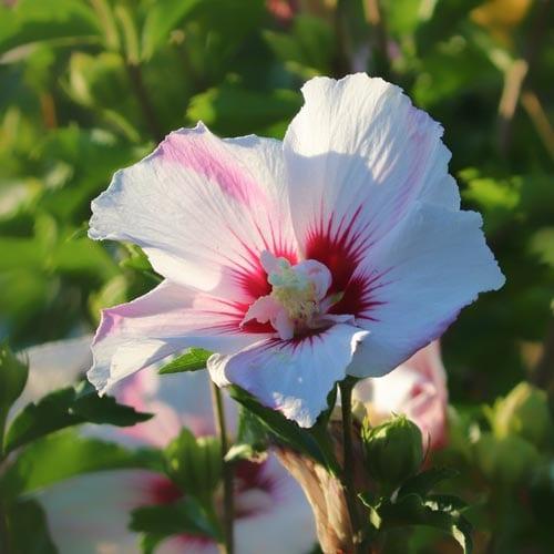 Hibiscus Shrubs