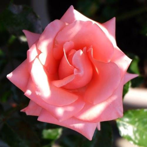 Hybrid Tea Rose Care