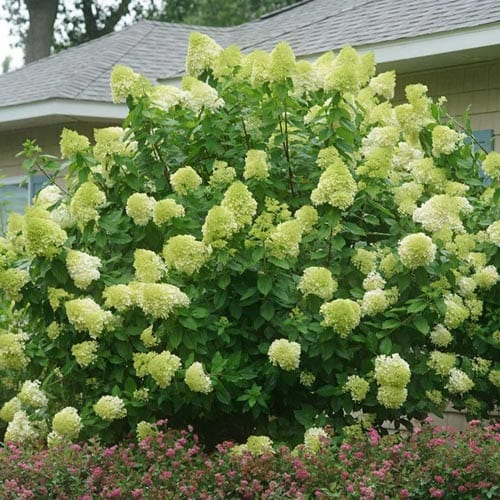 Limelight Hydrangea Shrubs