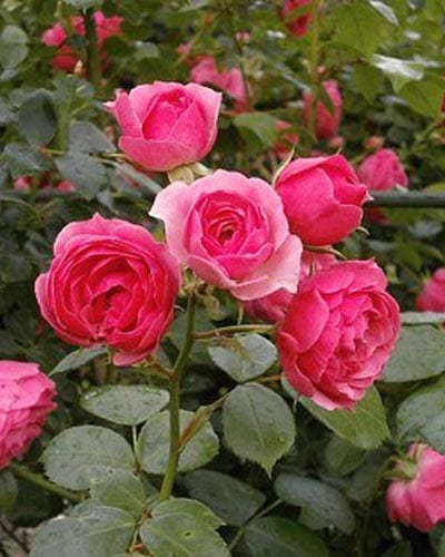 Miniature Rose Bushes - Yearly Rose List