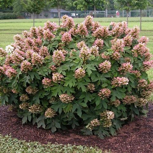Munchkin Hydrangea Shrubs