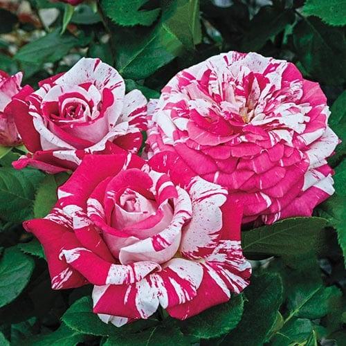 Neil Diamond Hybrid Tea Roses