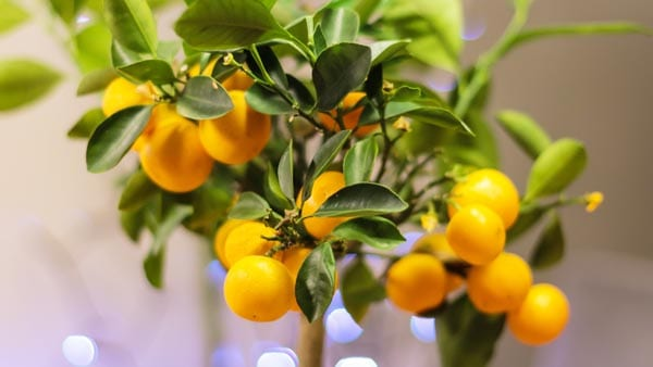 Orange trees are great for Chinese New Year