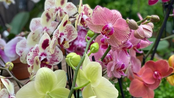Orchids for Chinese New Year