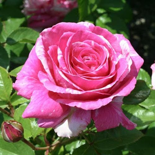 Parade Day Grandiflora Roses