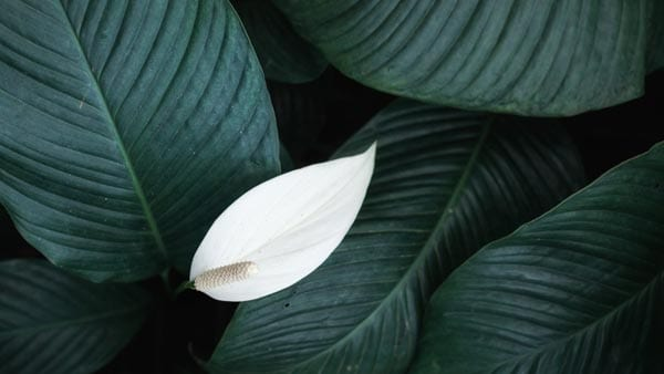 Peace Lily for Chinese New Year