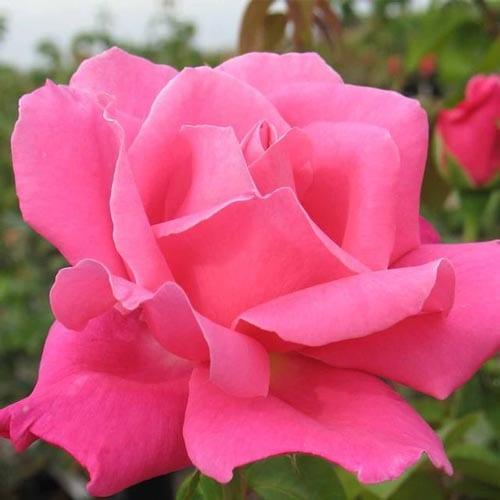 Perfume Delight Rose Bushes