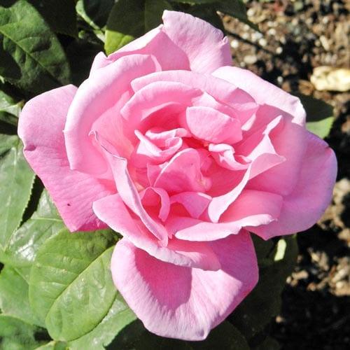 Perfume Delight Hybrid Tea Roses