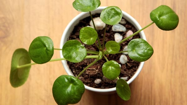 Pilea for Chinese New Year