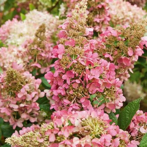 Pinky Winky Hydrangea Shrubs