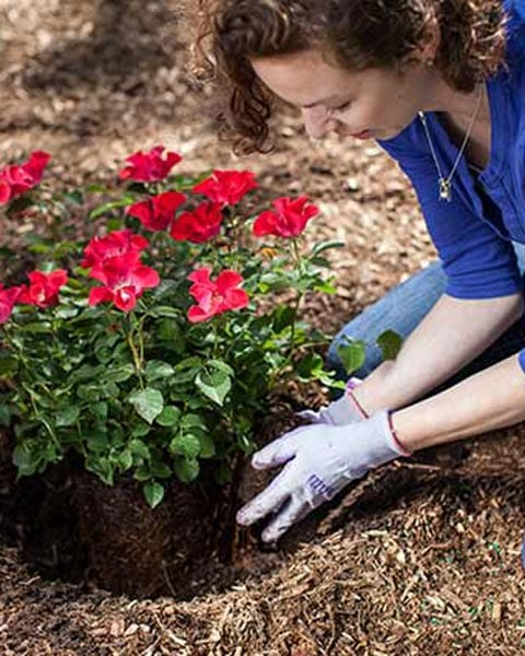After Planting Care - Rose Planting Guide