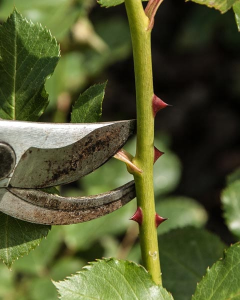 Pruning your roses - Rose Planting Guide