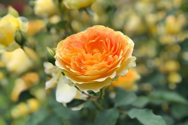 Rose Planting Guide